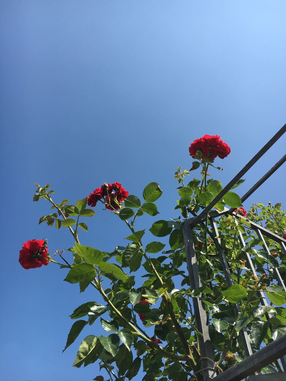 flower, red, growth, fragility, freshness, beauty in nature, petal, nature, low angle view, plant, flower head, blooming, no people, day, leaf, outdoors, green color, hibiscus, sky, close-up