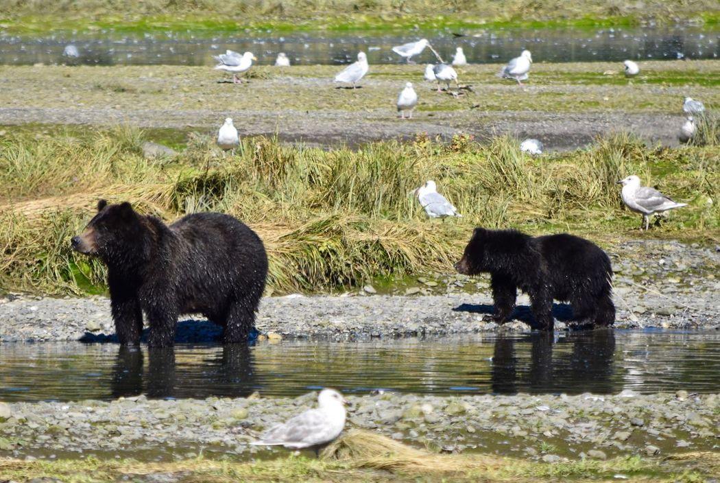 Grizzlies bear cub Bear Cub Alaska Admiralty Island