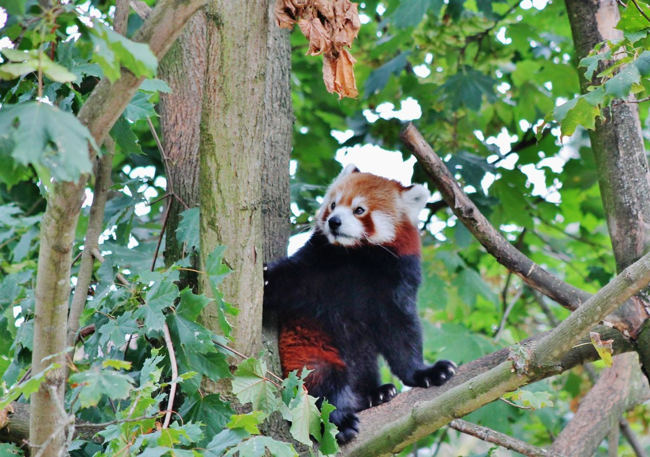Animal Themes Animal Wildlife Animals In The Wild Branch Close-up Day Leaf Low Angle View Mammal Nature No People One Animal Outdoors Panda - Animal Red Panda Tree Tree Trunk