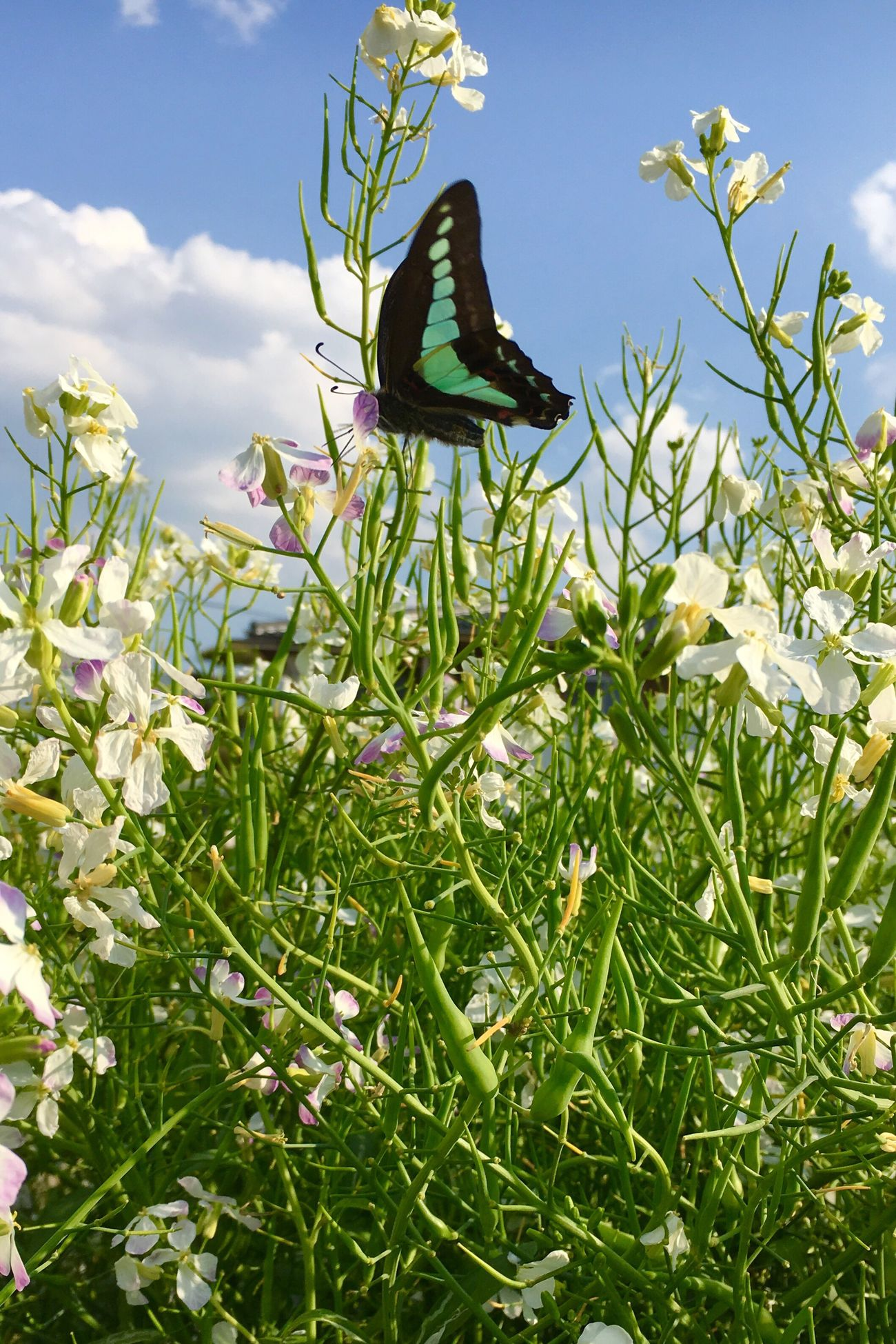 Nature Insect Beauty In Nature Butterfly Butterfly Collection アオスジアゲハと大根の花
