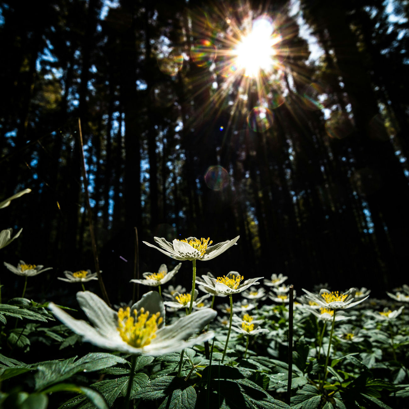 Wood Anemone Forest Forest Photography Vitsippor Scandinavia Springtime Spring Flowers Uppsala