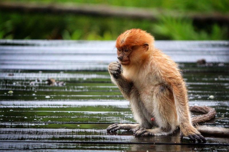 Sabah Borneo Monkey Animals In The Wild Animal Wildlife Nature Ape Cute Baby Monkey Mammal Primate Animal Themes One Animal Outdoors No People Tail Day Probiscus Adorable Cute♡ Cute Animals Baby EyeEm Best Shots EyeEm Nature Lover EyeEm Gallery The Week On EyeEm