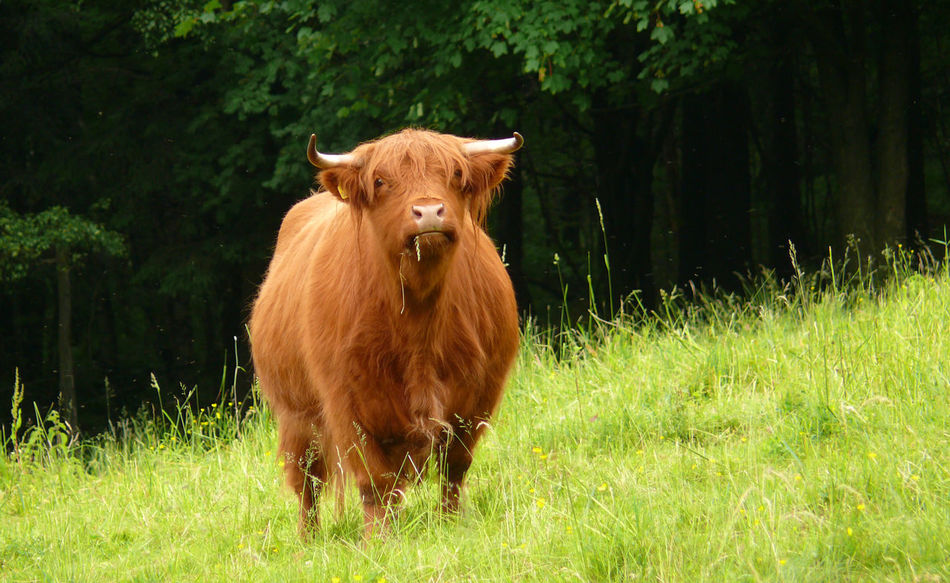 Hochlandrind Agriculture Animal Animal Themes Cattle Cow Day Domestic Animals Domestic Cattle Grass Green Color Growth Highland Cattle Highland Cattle Landscape Livestock Mammal Nature No People One Animal Outdoors Pasture Schottisches Hochlandrind Tree