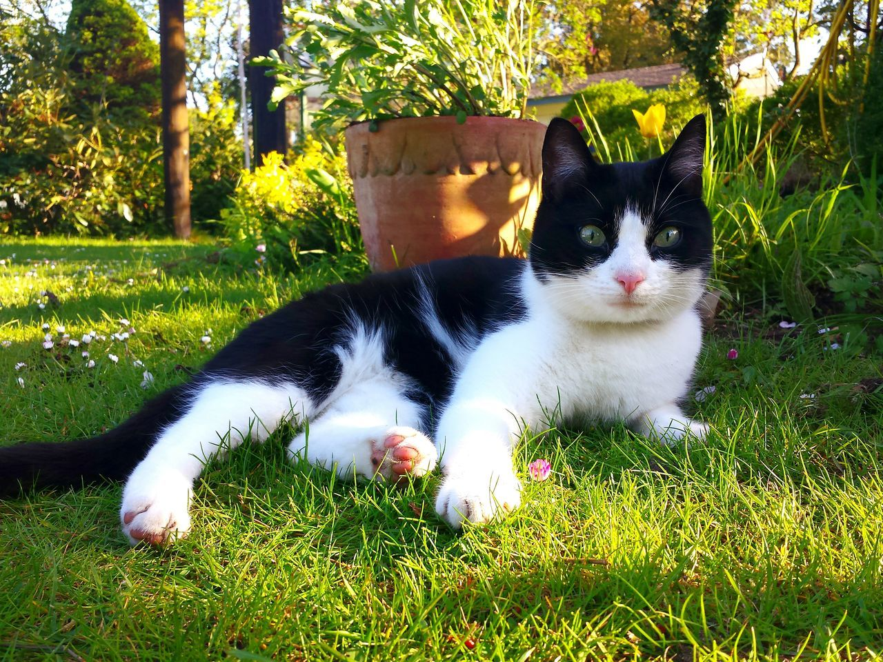 Felix The Cat called Benji. Ladyphotographerofthemonth The EyeEm Collection Cat Laying On Grass Light And Shadow Male Cat Pretty Cat Animal Portrait The Essence Of Summer Cats Of EyeEm Pets Cat Lovers Sunkissed Black And White Cat Cat Paw Cat In Garden Cat Eyes Cat Nose Loving Cat Gorgeous Combination Laying Cat In Grass With Daisies Relaxed Cat Relaxed And So Comfy Beautiful Composition Pink Daisy