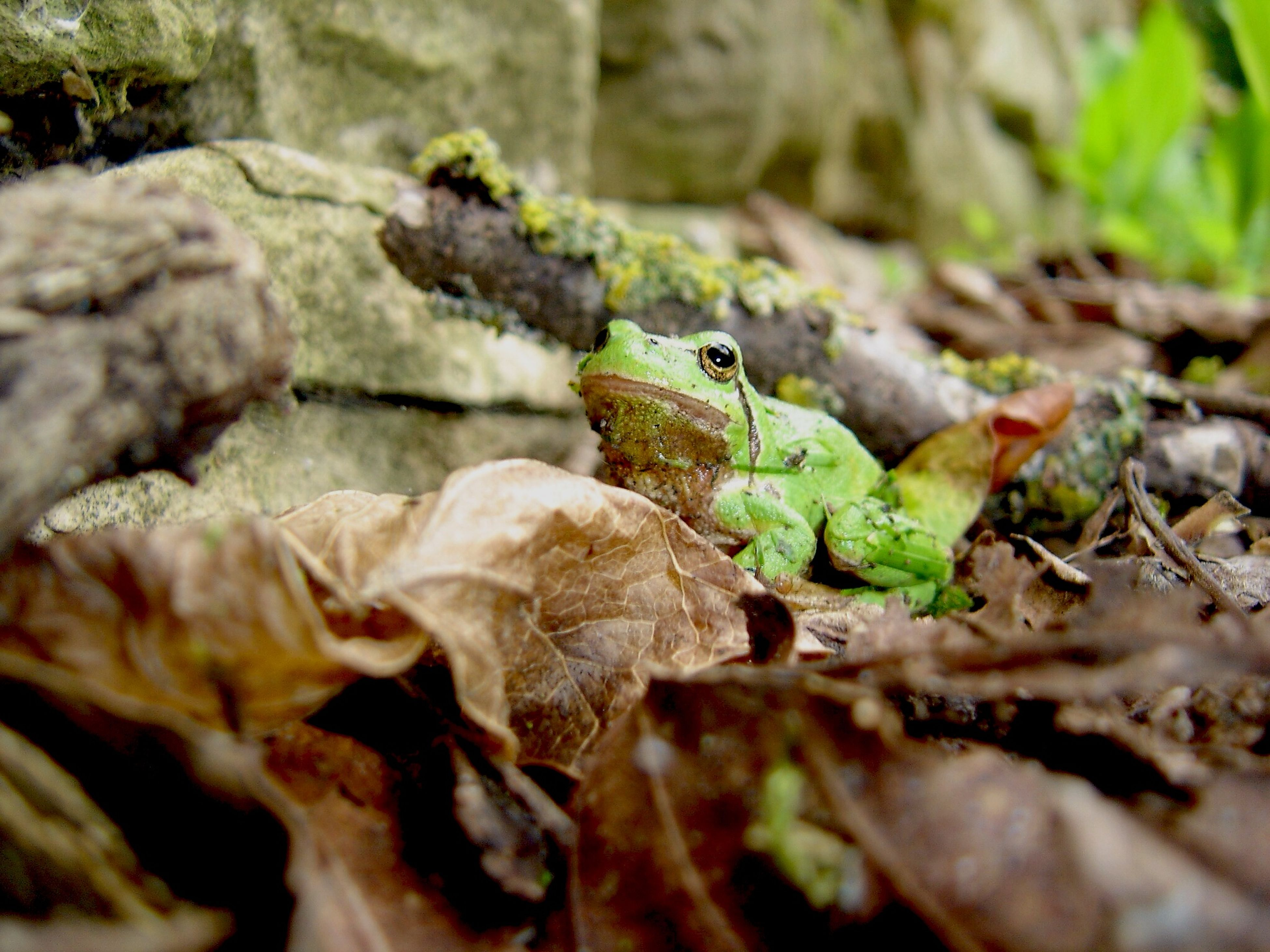 one animal, animal themes, animals in the wild, wildlife, reptile, lizard, green color, selective focus, close-up, rock - object, leaf, nature, focus on foreground, frog, amphibian, plant, outdoors, side view, rock, day