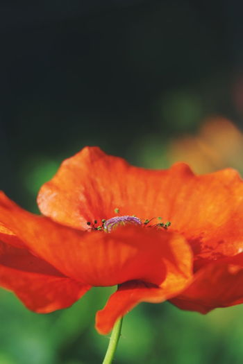 poppy Flower Petal Flower Head Plant Nature Beauty In Nature No People Fragility Close-up Freshness Red Outdoors Growth Poppy Day Hibiscus Leaf Red Blossom Poppy Flower Poppy Flowers Poppy Season Freshness Beauty In Nature Orange Color