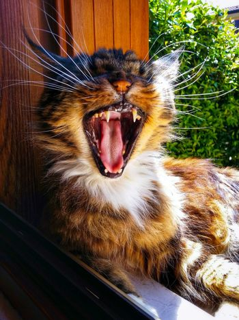 Hot Summer Afternoon Max The Maine Coon Cats Cat Lovers Cats At The Window Yawning Cats Looking Like They Are Roaring 43 Golden Moments