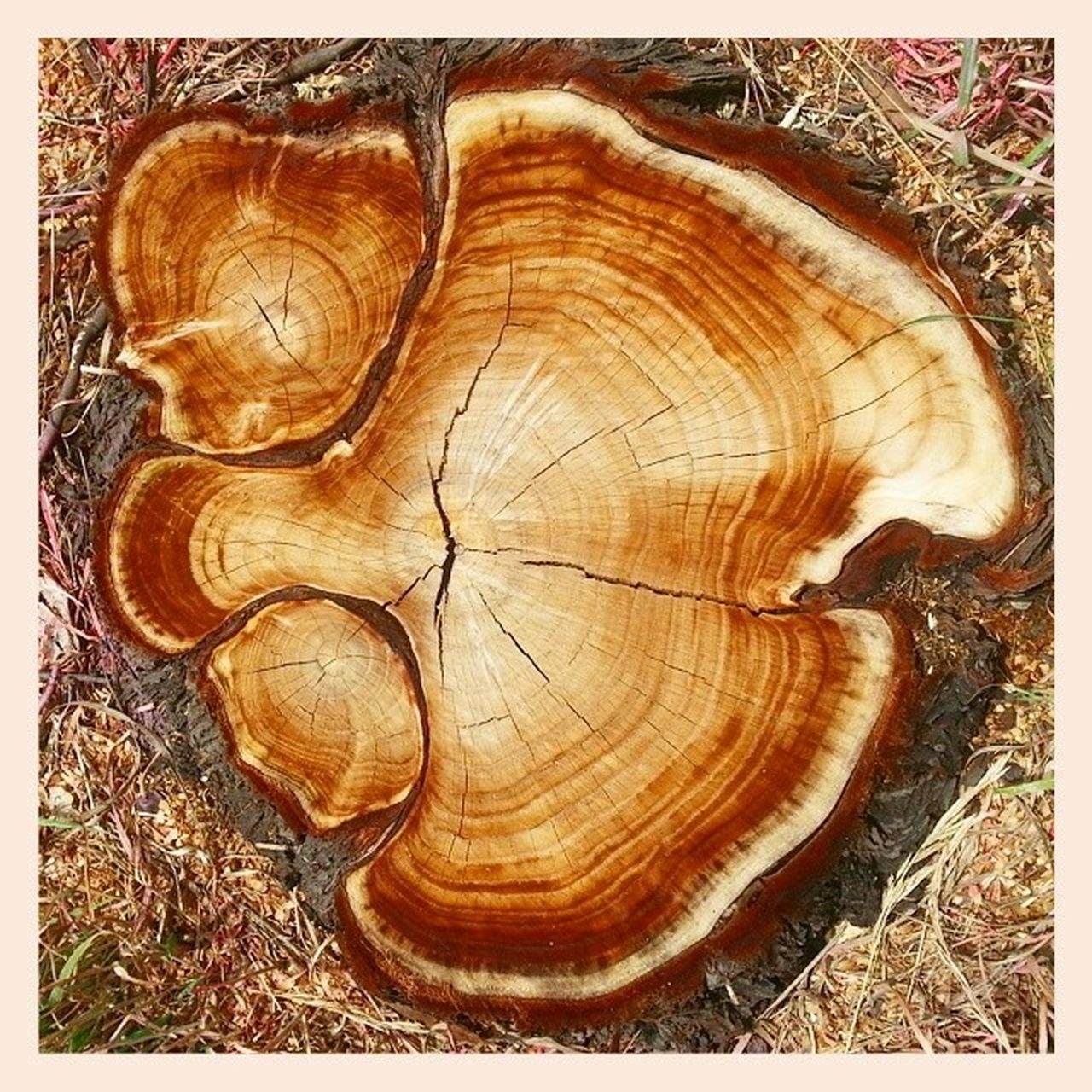 Rings of Life Tree Treestump Eastlake TreeRings