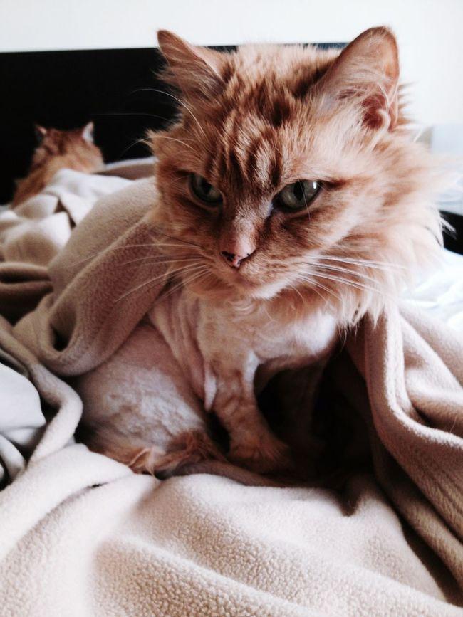 Kitty Bed Head Munchkin Cat Orangecat Good Morning Rises Dashing Munchkincat Sleepy Cozy