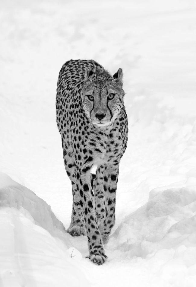 Animals In Winter B & W  Beauty In Nature Black & White Cheetah Mammal No People Walk In The Snow Zoo Animals