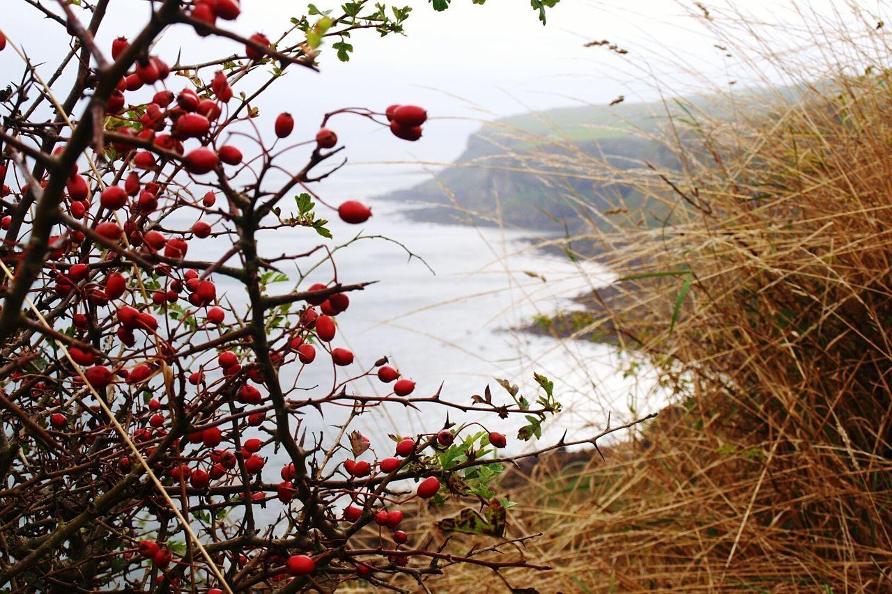 Tree Branch Nature Plant Cliff View Landscape Coastline Scenics Water Coast Cliffs Seascape North Sea View Red Red Berries Berries Grass Cliff Edge Coastal Walk Yorkshire Coast