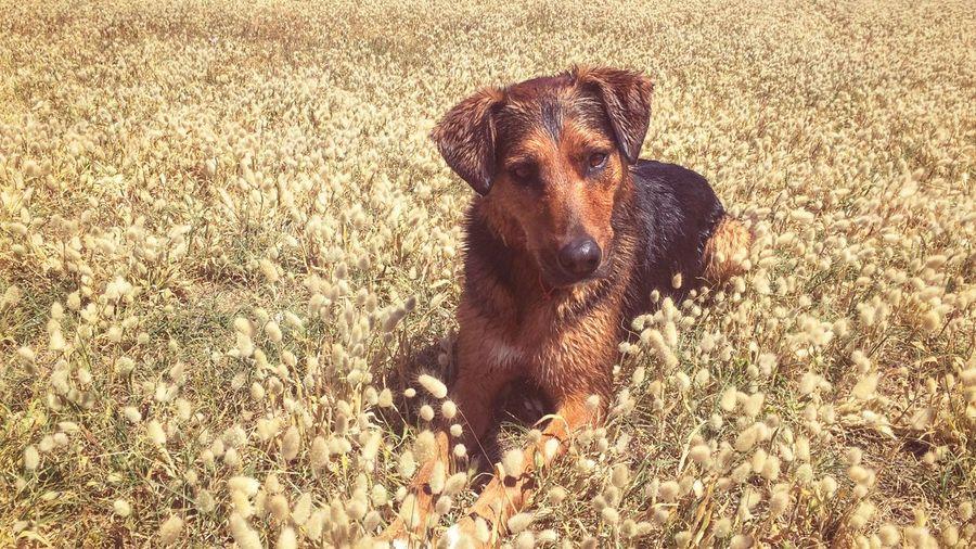 Be. Ready. Dog Pets Portrait Grass Close-up Huntaway