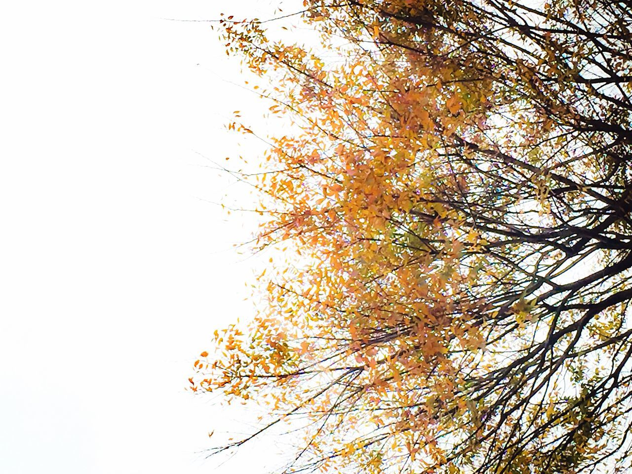 autumn, tree, change, nature, branch, beauty in nature, leaf, growth, low angle view, outdoors, flower, day, blossom, no people, tranquility, beauty, springtime, clear sky, scenics, maple leaf, sky, fragility, freshness, close-up