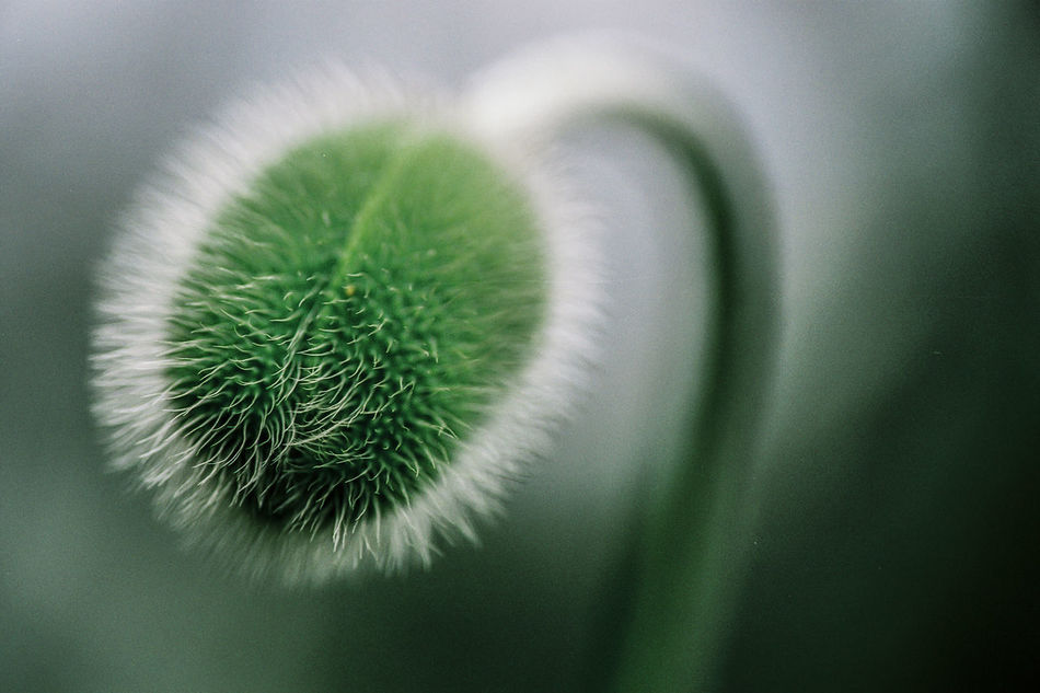 Flwoerscape - Beautify of a Curve (From Fujifilm) Beauty In Nature Close-up Day Flower Focus On Foreground Fragility Freshness Green Color Green Color Growth Macro Nature No People Outdoors Outdoors Photograpghy  Plant Poppy Poppy Flowers Seeds Of Life Unopened Flower