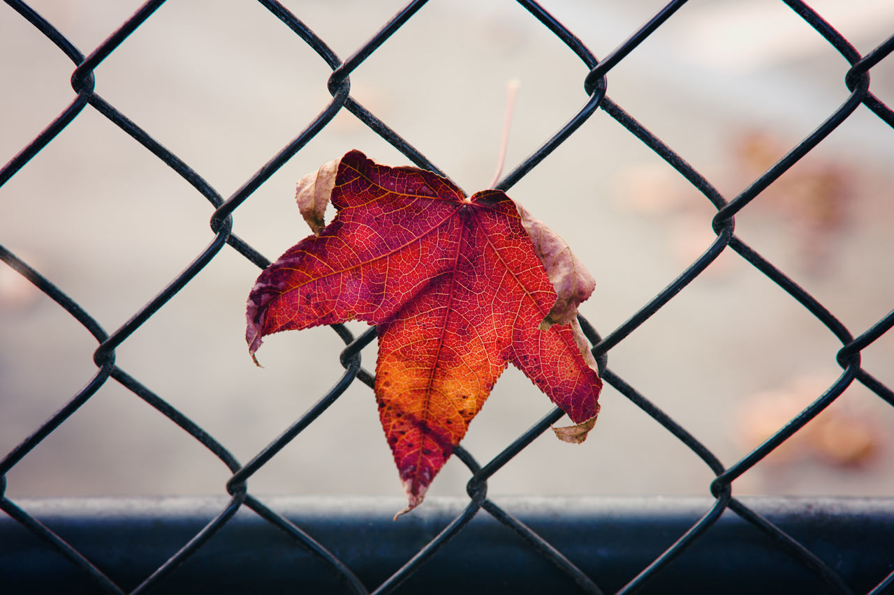 lone maple leaf stuck to a fence Autumn Autumn🍁🍁🍁 Chainlink Fence Close-up Day Fence Leaf Maple Leaf Maple Leafs Metal Nature No People Outdoors Protection Red Safety Seasons Sky Miles Away Trapped Veins In Leaves Adapted To The City The City Light Minimalist Architecture The Secret Spaces EyeEm Diversity The Secret Spaces Break The Mold