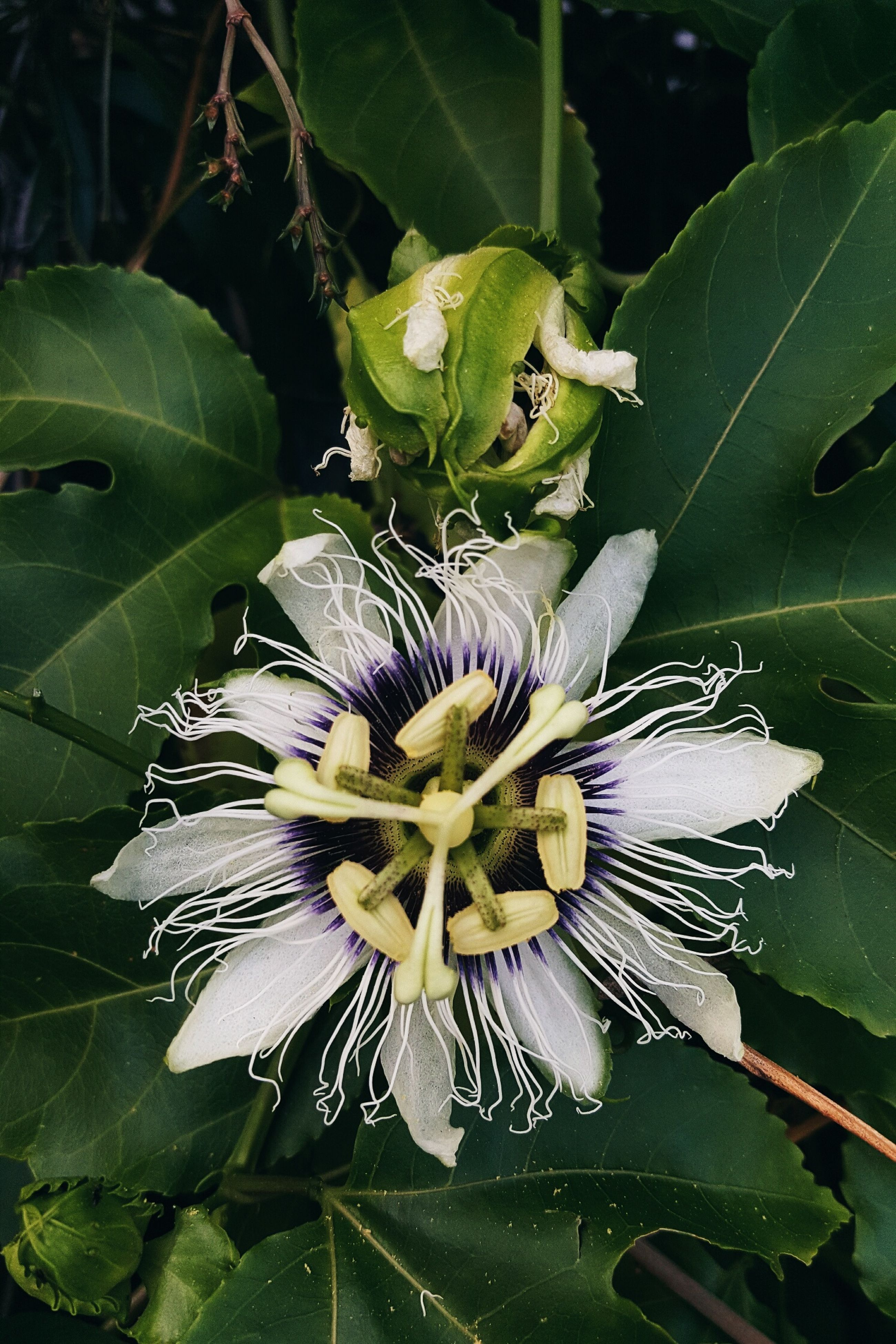 flower, leaf, fragility, petal, beauty in nature, flower head, freshness, growth, plant, nature, day, green color, passion flower, close-up, no people, outdoors, blooming