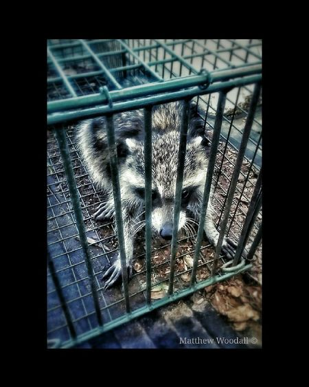 'Raccoon behind bars' I saw this cute little guy in the back of a pickup truck at the store, and the man that owned the truck came out and said that he worked at a feed & seed store and that he had caught 4 raccoons so far, getting into bags of feed. He said he would take them to the country and let them go. Anyways, this was just a day in the life, of a raccoon and I, crossing paths. :-) Raccoon Trap Raccoon Animalsofinstagram Hungry Animals Hungry Raccoon Helpless Fellow Helpless Raccoon Lover Raccoonsofinstagram Raccooneyes Raccooncity Snapseed Editing  Picsart border. Andriodography Android Photos Androidcamera