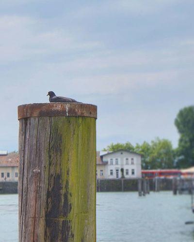 Pigeon resting. Beautiful View . At the Hafen Port waiting for the Cruiseship . Lindau Bodensee Deutschland Germany . Taken by my Sonyalpha DSLR Dslt A57 . مرفأ يخوت بحيرة جزيرة لينداو المانيا