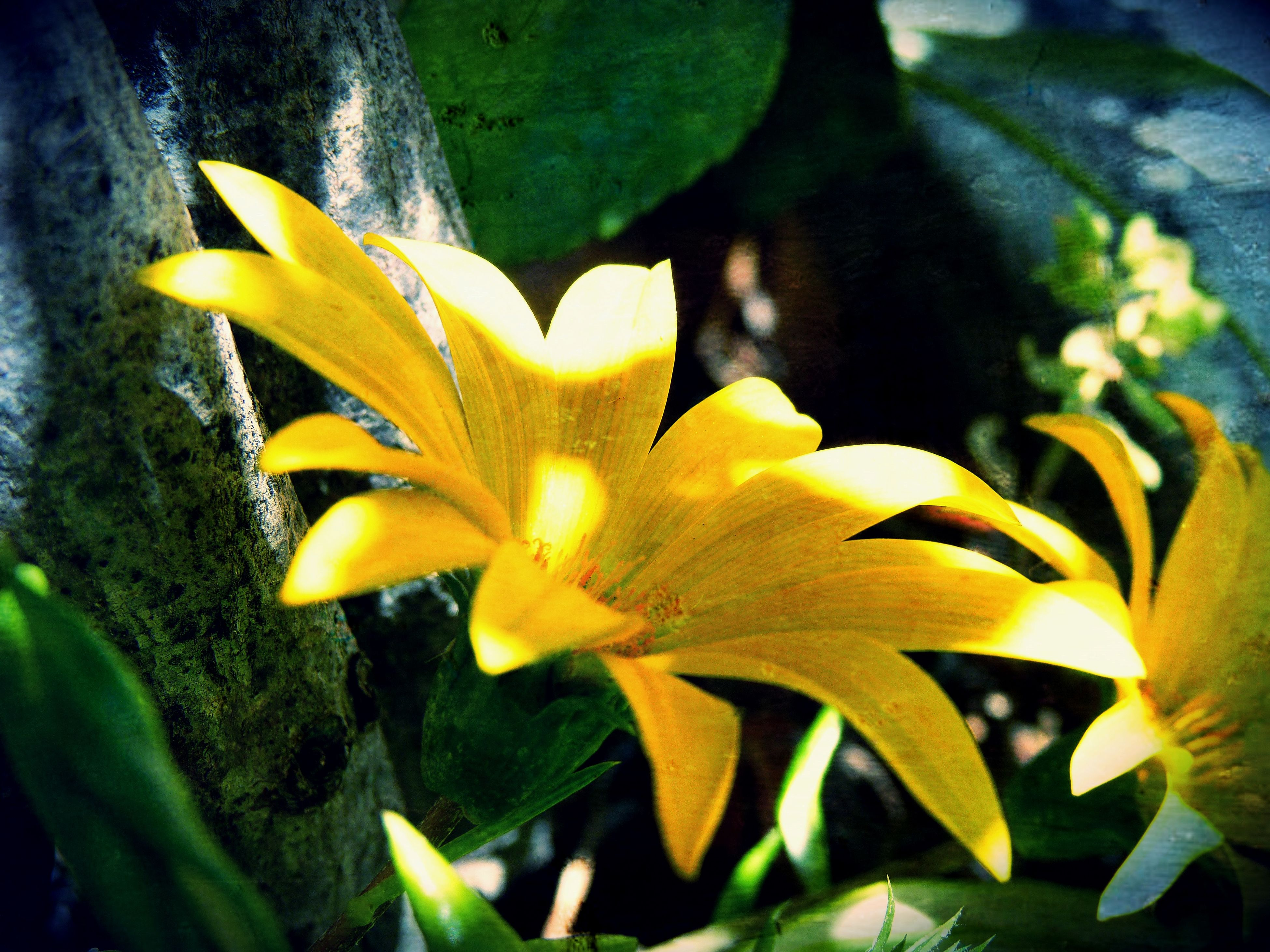 flower, fragility, nature, beauty in nature, yellow, freshness, close-up, growth, petal, flower head, no people, plant, day, outdoors, blooming, day lily