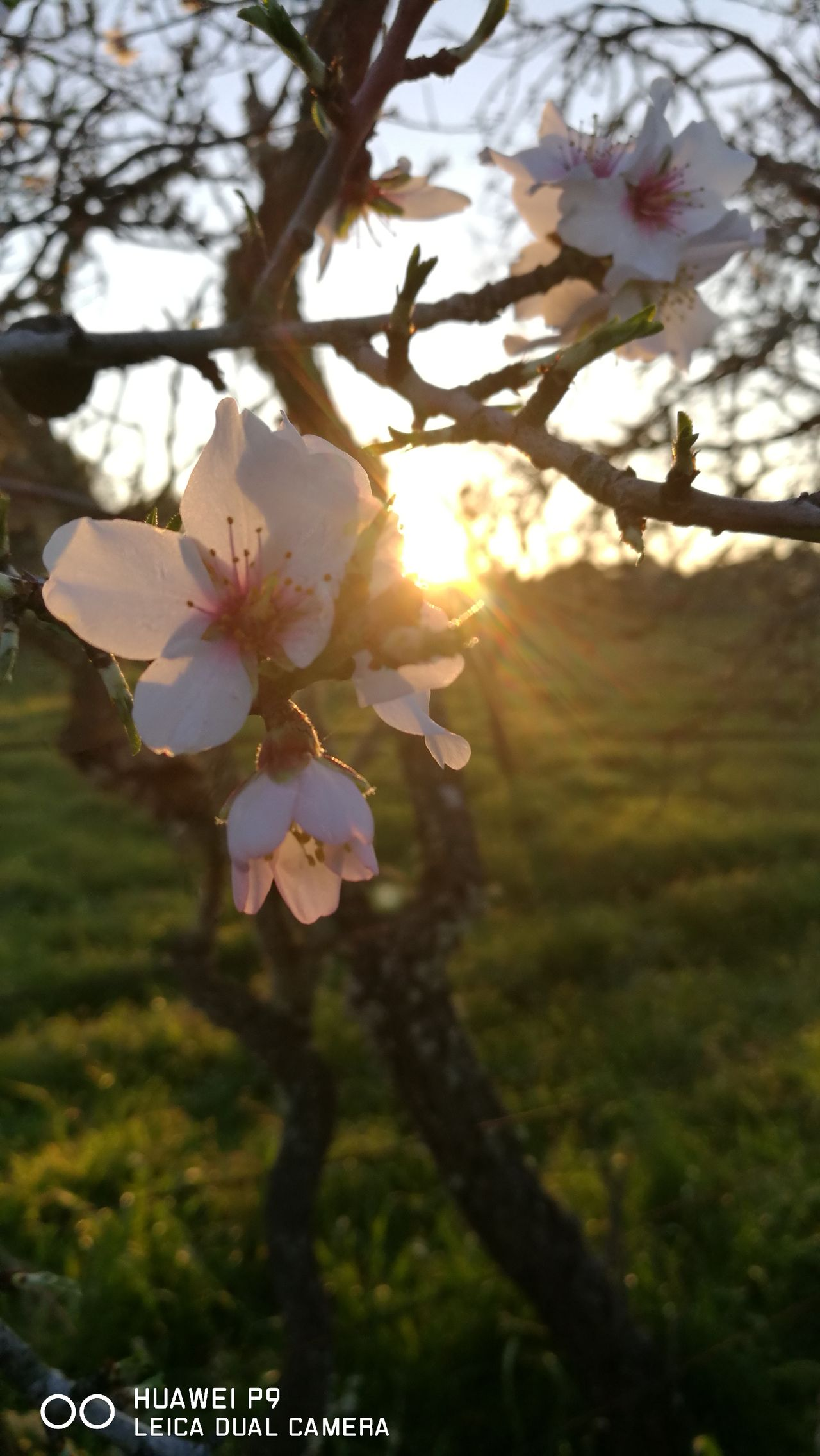 Mandelbaumblüte bei Sonnenuntergang auf Mallorca... Nature Tree Sunlight Growth Beauty In Nature Outdoors Sunset Sunbeam Tranquil Scene Nostalgic Scene PalmaDiMaiorca GetbetterwithAlex Originalpicture