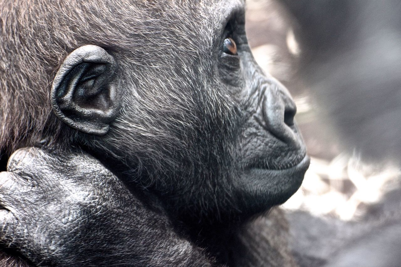 Beautiful stock photos of gorillas, Animal Themes, Animals In The Wild, Beauty In Nature, Close-Up