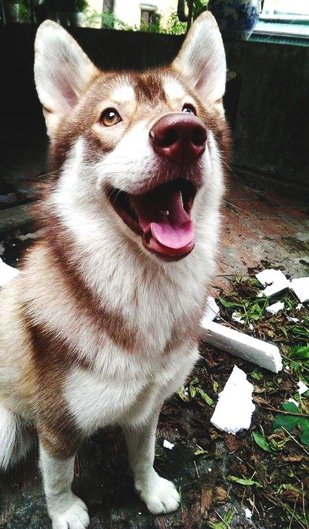 I Love My Dog Husky Cute Dog