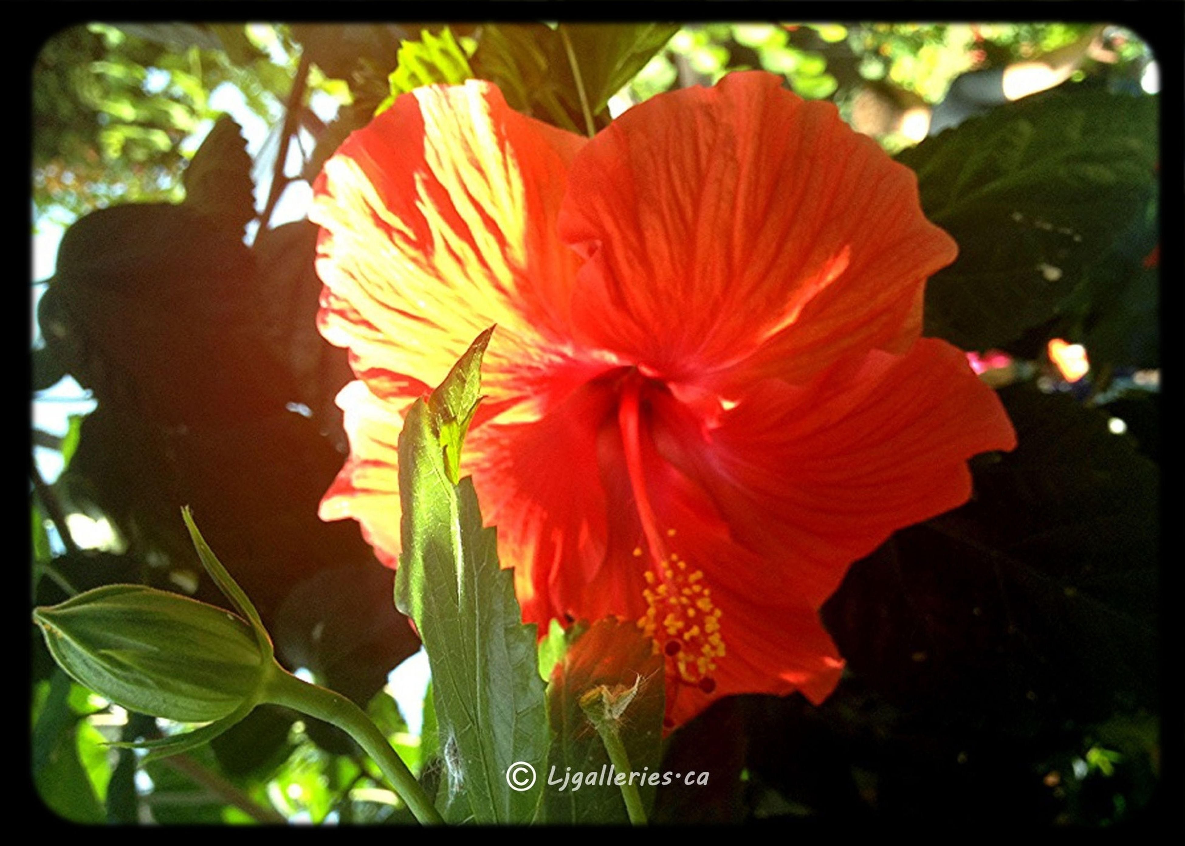 flower, petal, freshness, flower head, transfer print, fragility, growth, beauty in nature, single flower, close-up, auto post production filter, blooming, nature, plant, red, leaf, focus on foreground, hibiscus, in bloom, pollen