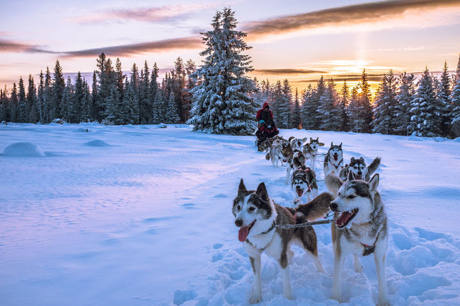 Showcase: January Dog Sleddog Winter Sledge Dog Adventure Sled Dog Mush Camp Dog Sled Musher Sunset Husky Wintertime Winterwonderland Winter Wonderland Clouds And Sky Dogs Dog Sledding Cold Temperature Cold Winter ❄⛄ Snow Mush Dog Animal Themes Snow ❄ Eyem Nature Lovers