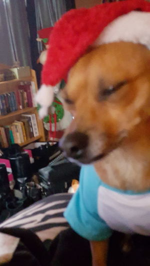 Taking Photos Christmas Spirit Dog❤ Dogs Of EyeEm Dogslife My Dog Mydogiscoolerthanyourkids Christmasdog A Dogs Life Chihuahua Cute Pets Pets Corner Peanut Williams Bay, Wisconsin