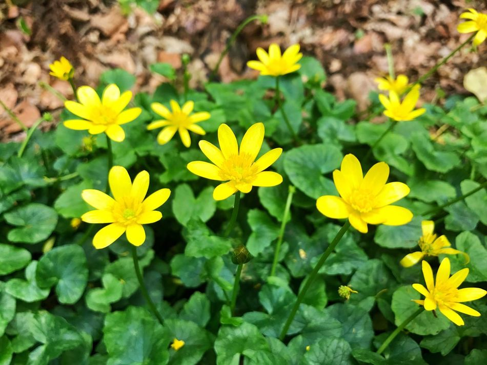 Flower Growth Plant Green Color Nature Fragility Freshness Beauty In Nature Outdoors Leaf Flower Head Petal Day Blooming Field Close-up No People Marsh Marigold Caltha