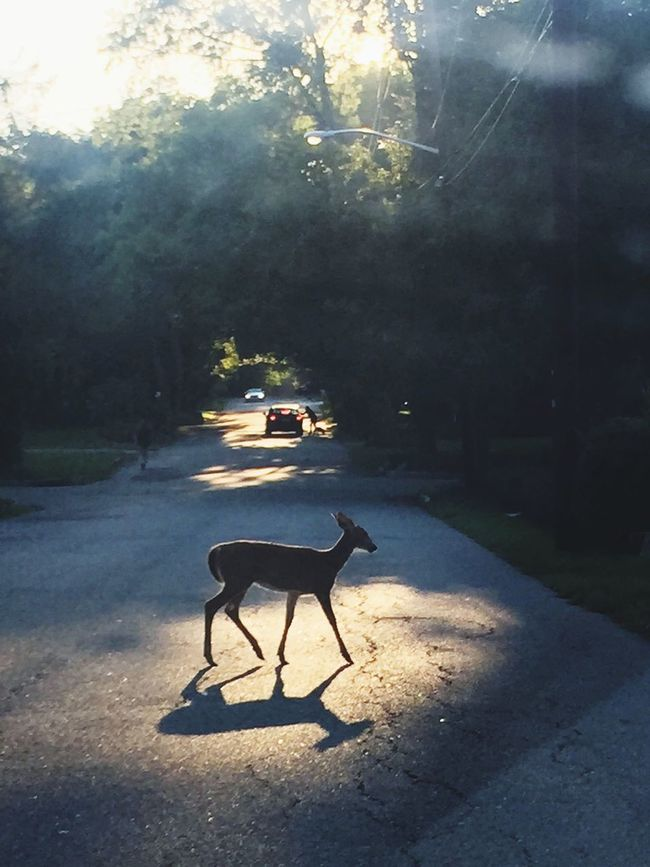 Deer Driving Crossing On The Road Road EyeEm New Jersey New Jersey Animals Animal_collection Animal Photography