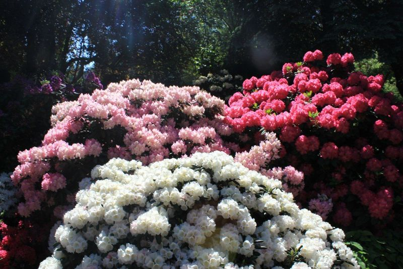 Here's My Photo Differentcolor Flower Collection Whitepinkcrimson White Pink Crimson Flower Flowers Colorful