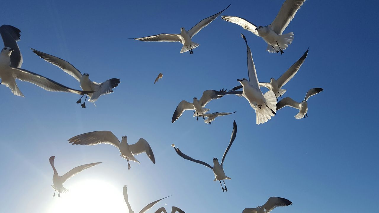 Flock of seagulls waiting to catch the bread being thrown to them Flying Animal Wildlife Animal Body Part Blue Large Group Of Animals Animal Bird Flock Of Birds Animals In The Wild Low Angle View No People Outdoors Sky Day Seagulls Mid-air Birds Cellphone Photography