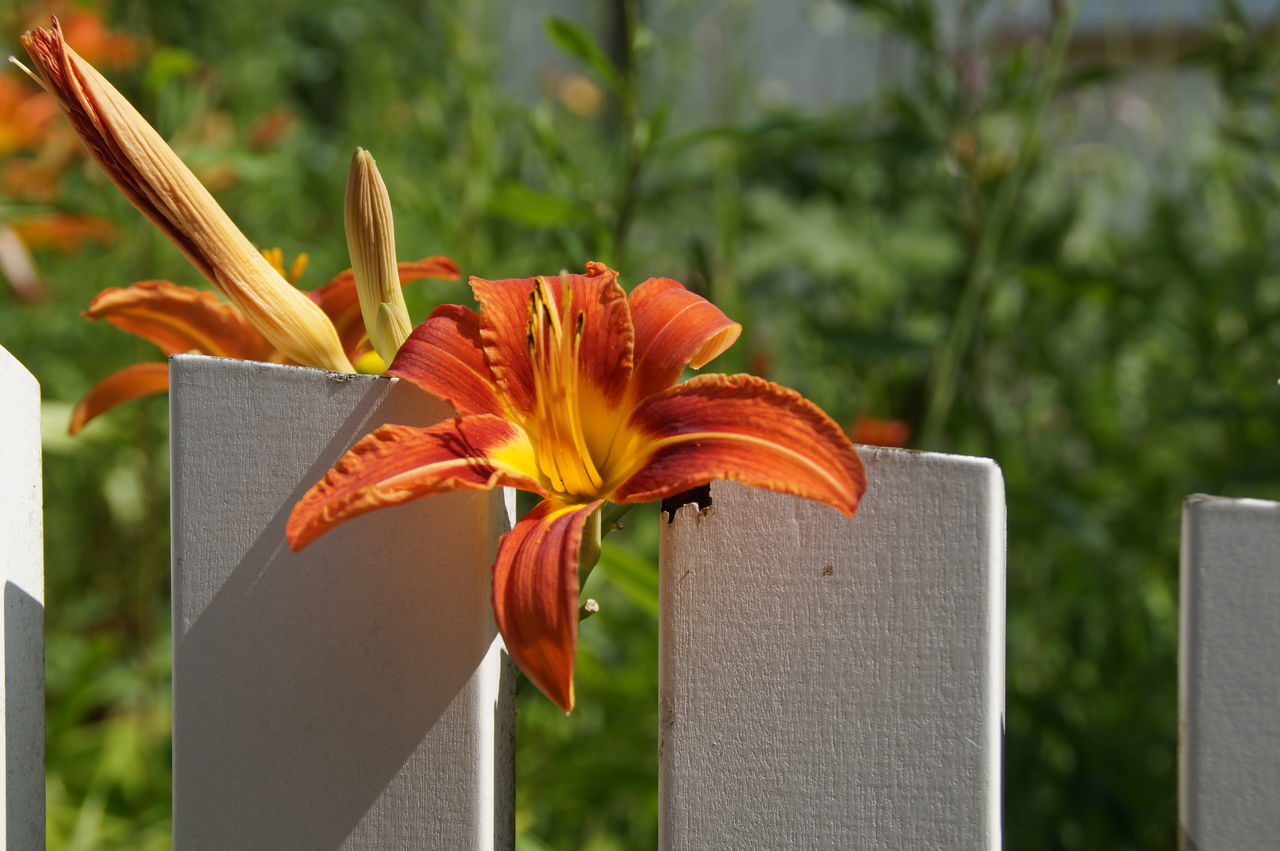 A wunderful lilly at the white fence Blooming Flower Fragility Freshness Growth In Bloom Lilies Lily Vibrant Color