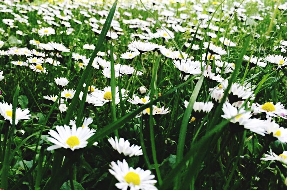 Flowers Grass Daisy White Green Field Nature Nature_collection Spring Spring Flowers EyeEm Nature Lover Twins Growth Picture Respect Nature_perfection Nature Photography Colors Blossom