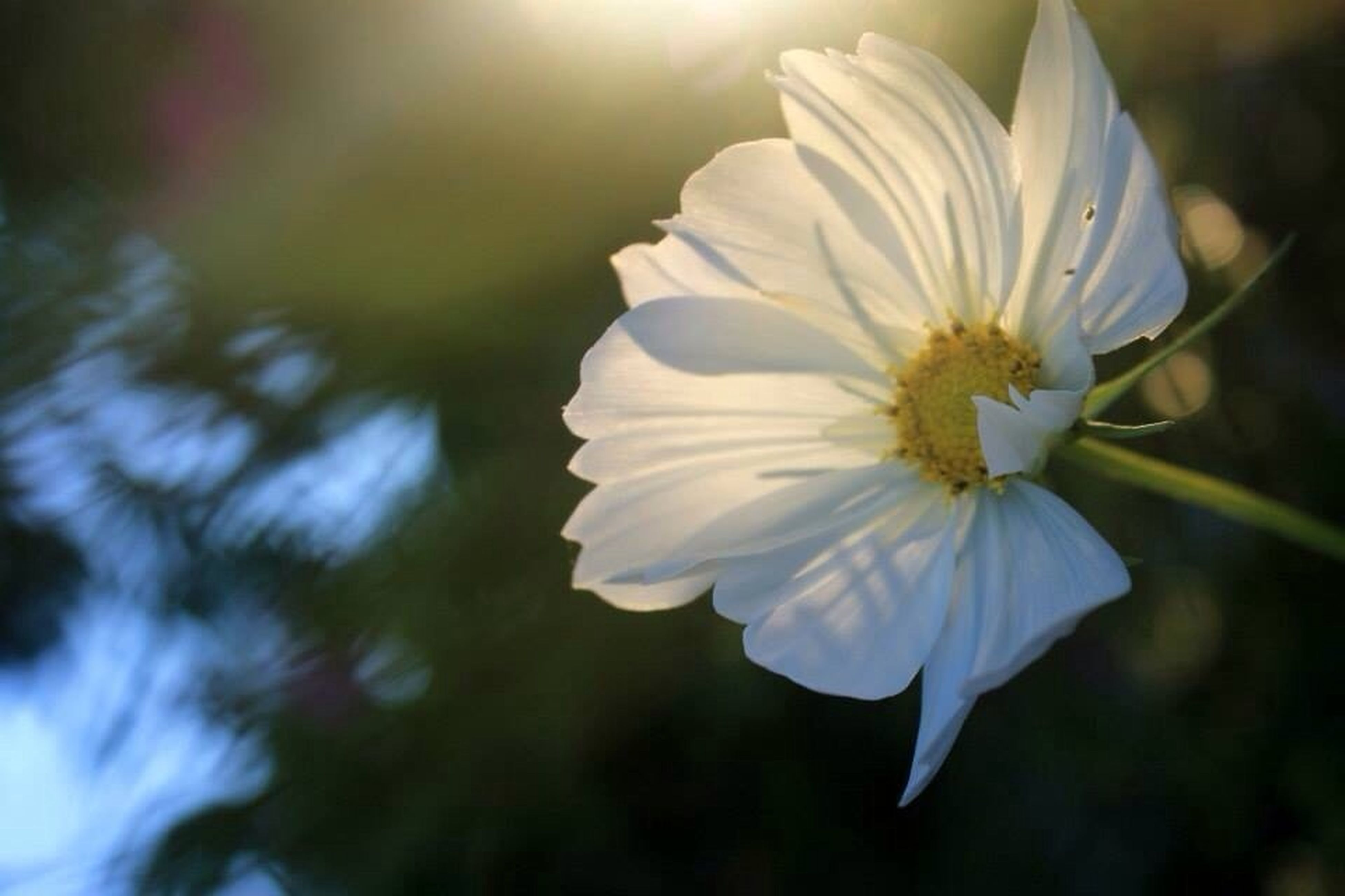 flower, petal, fragility, flower head, freshness, focus on foreground, beauty in nature, growth, close-up, blooming, white color, nature, single flower, pollen, in bloom, selective focus, stamen, plant, outdoors, day