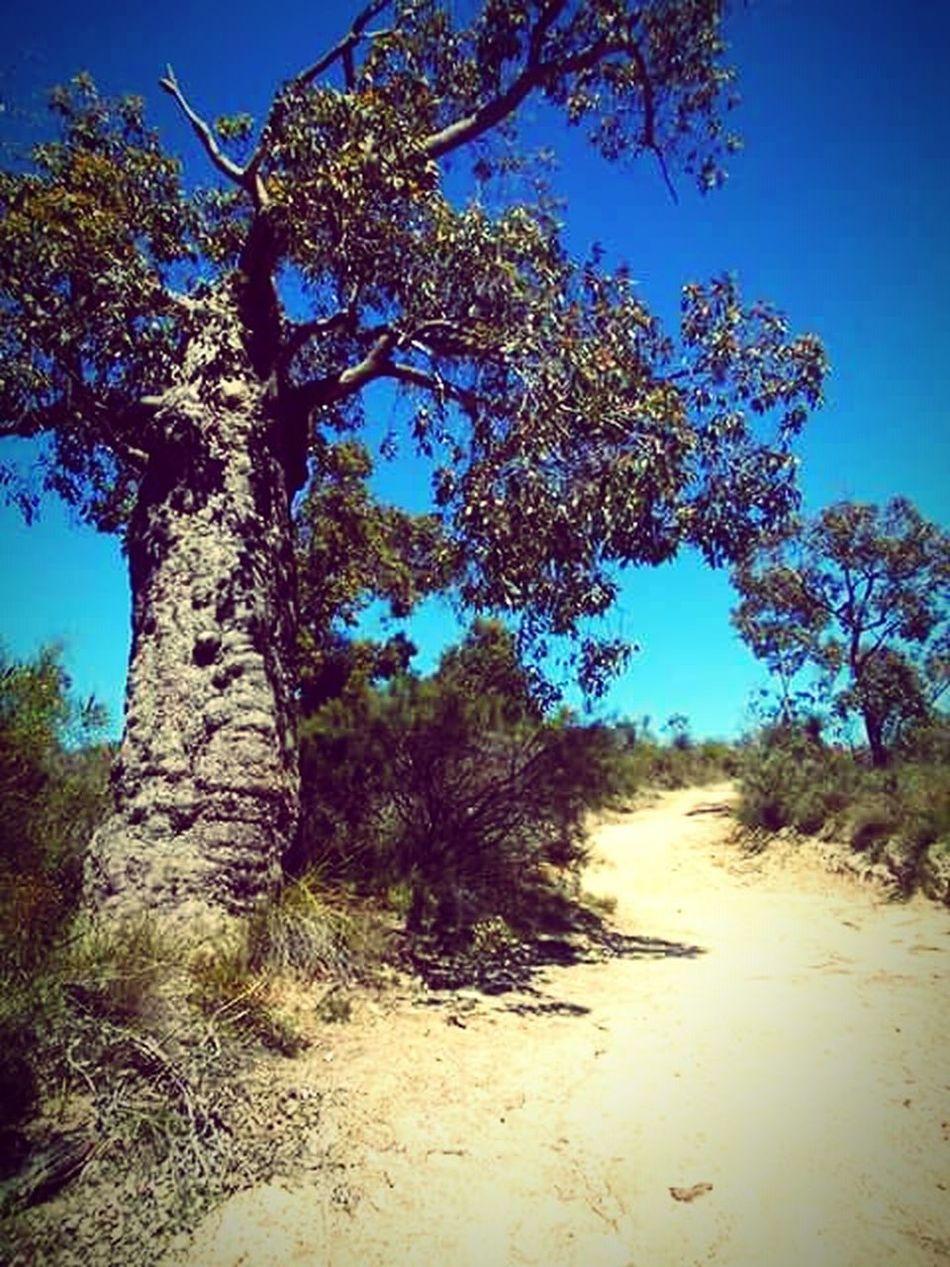 Boab Tree Aussie Bush Walks Bush Walks Enjoying Life