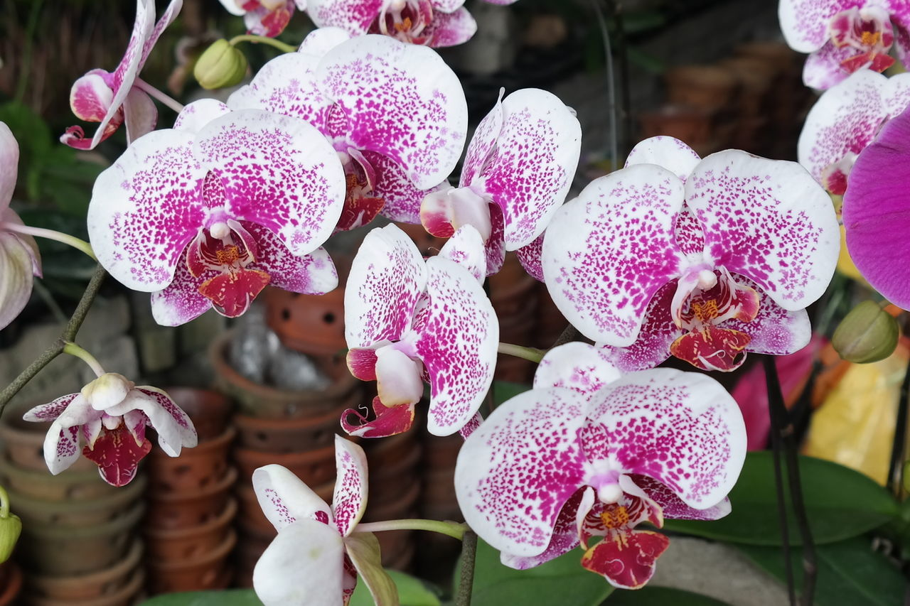 Orchid Blossoms Flowers