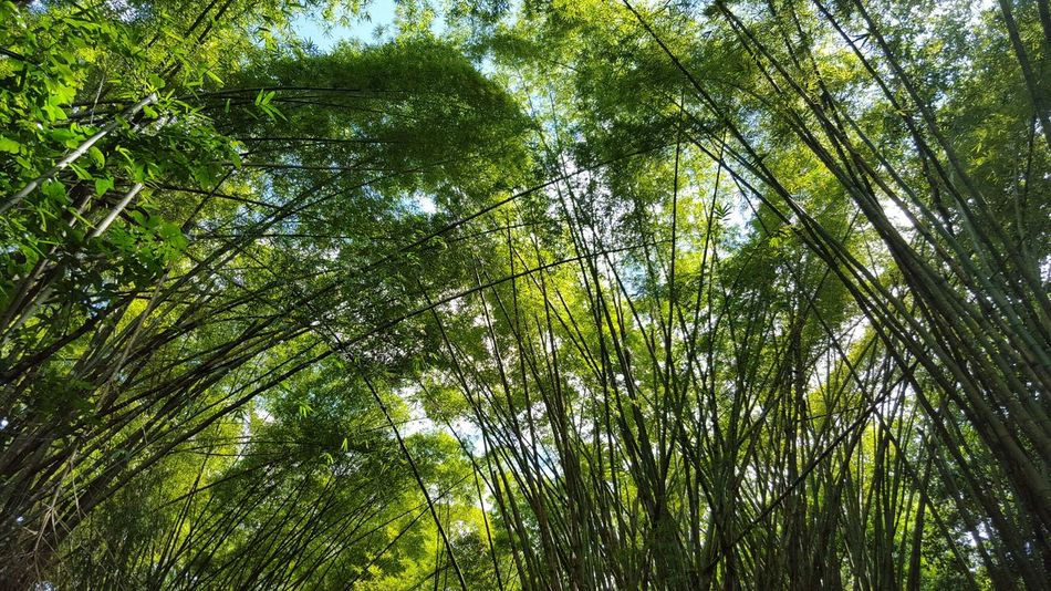 Beautiful stock photos of puerto rico, Bamboo - Plant, Bamboo Grove, Beauty In Nature, Day