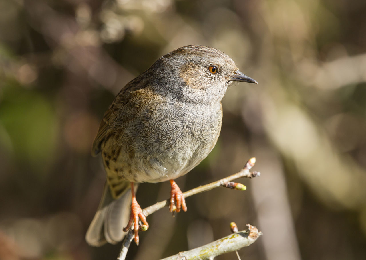 RSPB Radipole. Animal Themes Animal Wildlife Animals In The Wild Beauty In Nature Bird Branch Close-up Day Dorset,England Dunnock Focus On Foreground Nature No People One Animal Outdoors Perching RSPB Weymouth Dorset