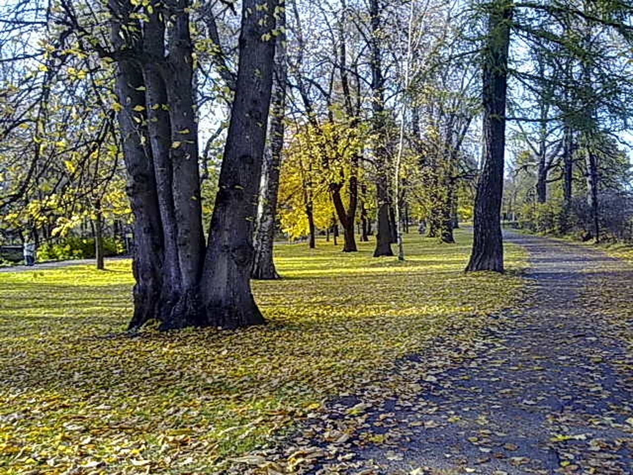 tree, autumn, nature, tranquility, beauty in nature, scenics, change, growth, grass, tranquil scene, outdoors, leaf, tree trunk, yellow, landscape, day, no people, branch, sky