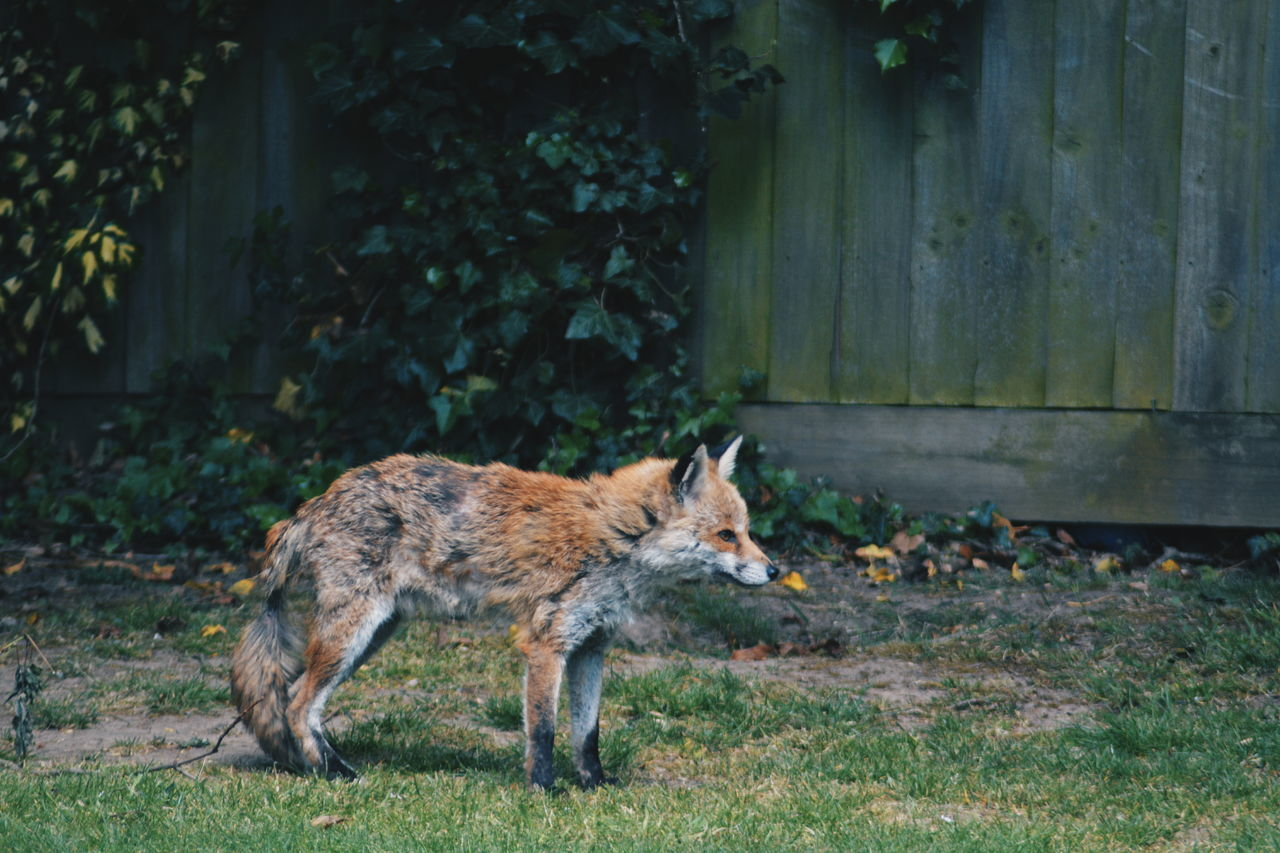 Animal Themes Animal Wildlife Animals In The Wild Day Fence Fox Garden Grass Grass Mammal Nature No People One Animal Outdoors