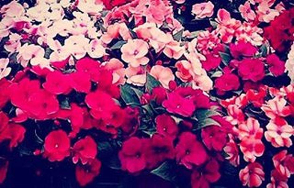 Romance Pinkandred Flowers Cornwallpark Putiputi 9vaga_colorpink9 Tt_wt_rflora Ptk_flowers_red1