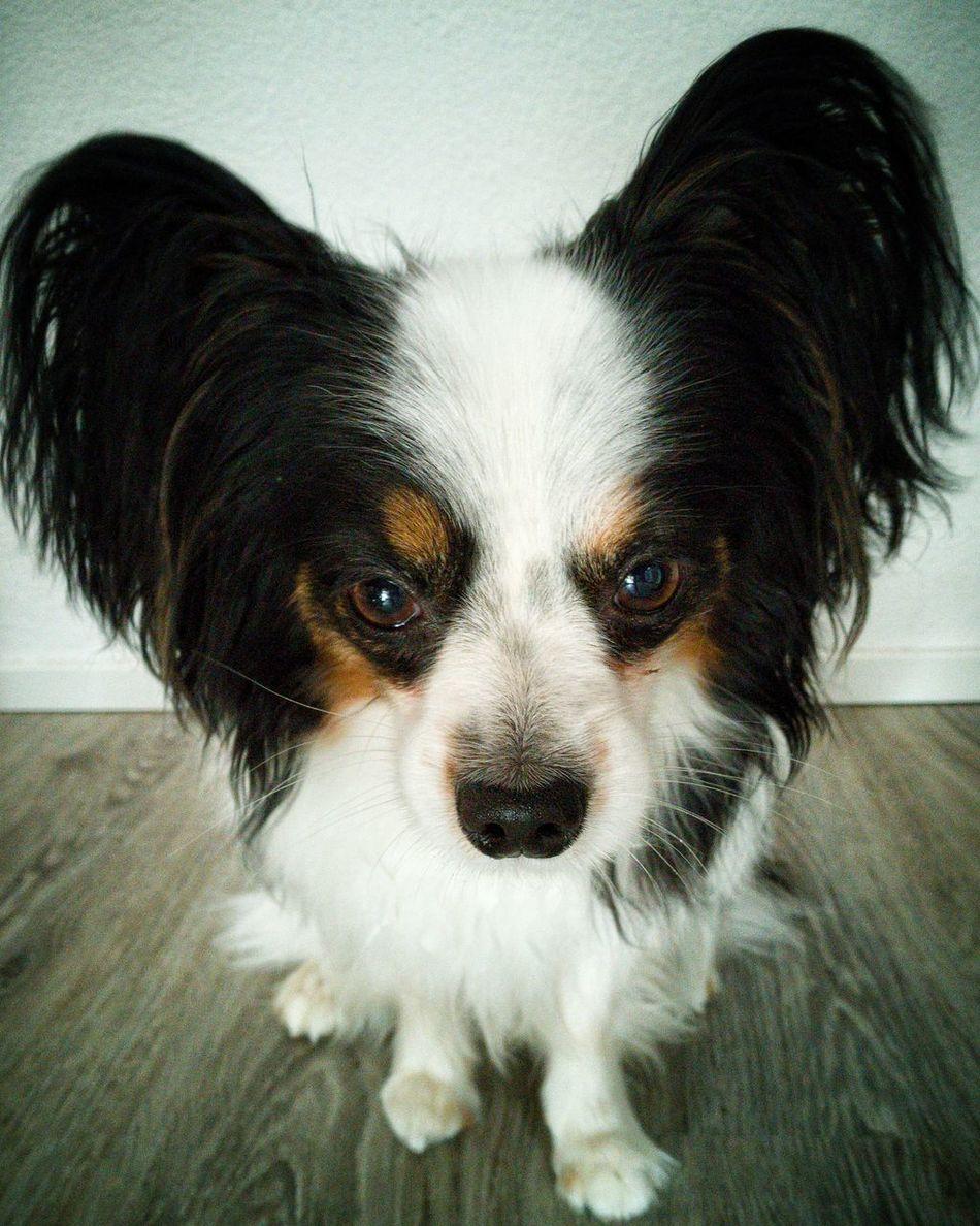 Dog Dog Love Dog❤ Dogs Of EyeEm Papillion Dogslife Doglover DogLove No People Animal Papillion, Dog, Cute, Precious, Furry Dog Lover
