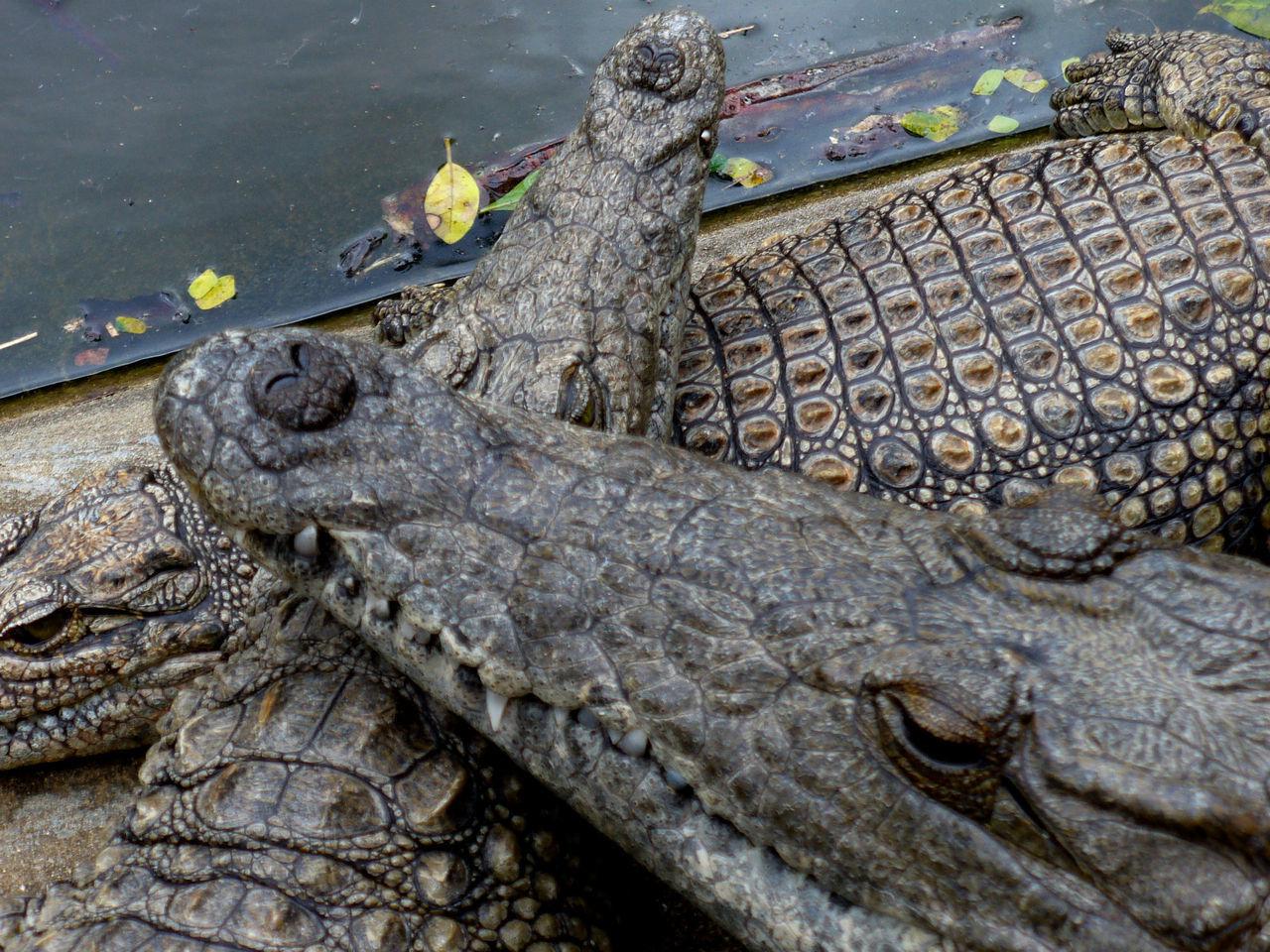 reptile, animals in the wild, animal wildlife, animal themes, alligator, outdoors, one animal, crocodile, animal head, day, no people, close-up, animal scale, nature, water, iguana