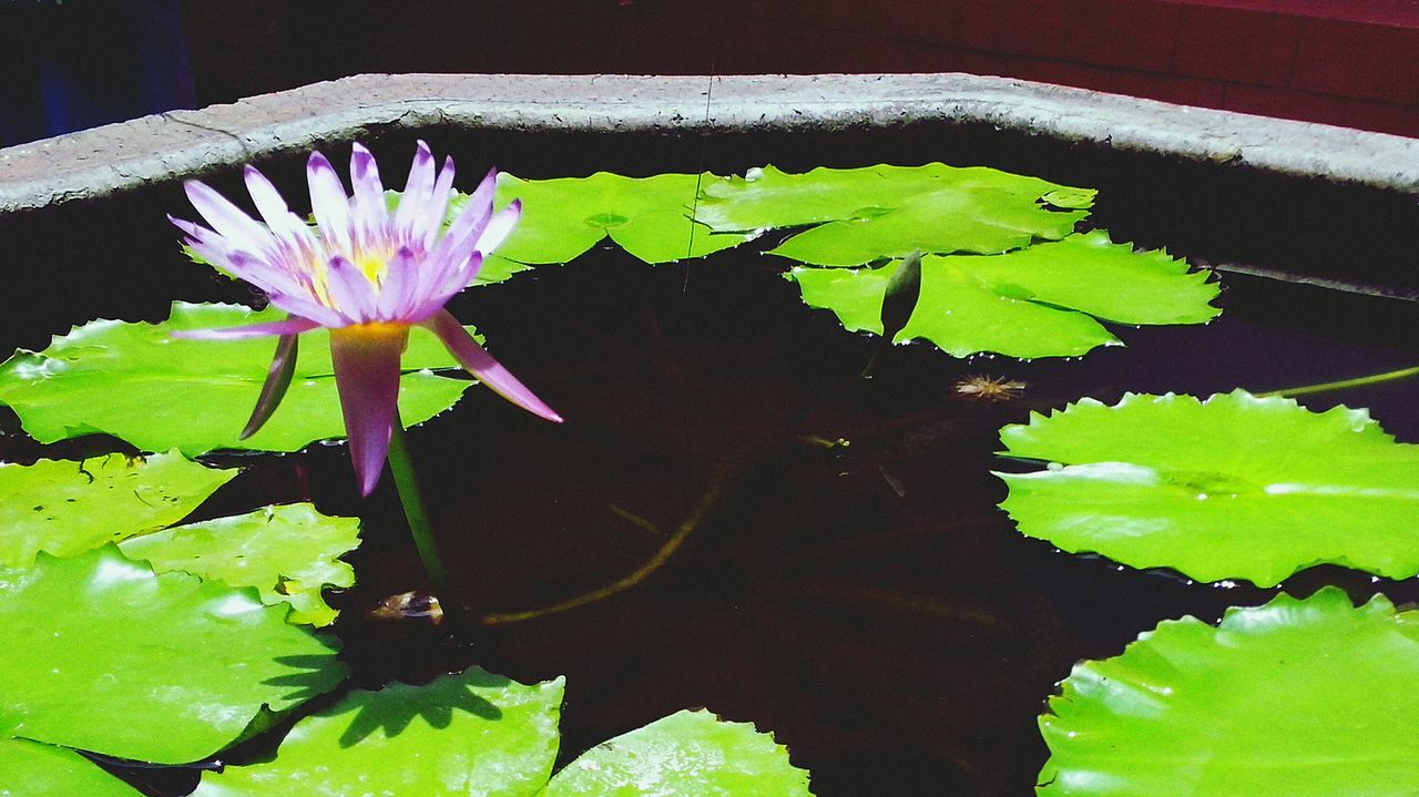 flower, leaf, fragility, freshness, beauty in nature, nature, growth, plant, green color, water, no people, flower head, close-up, petal, water lily, day, floating on water, lily pad, outdoors, lotus water lily