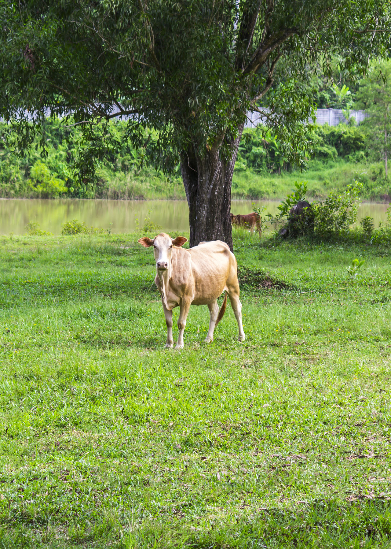 Standing young cow on green grass Agriculture Animal Themes Beef Bovine Bull Cattle Countryside Cow Domestic Animals Farm Field Grass Landscape Livestock Mammal Nature Outdoors Rural Standing Tree Young