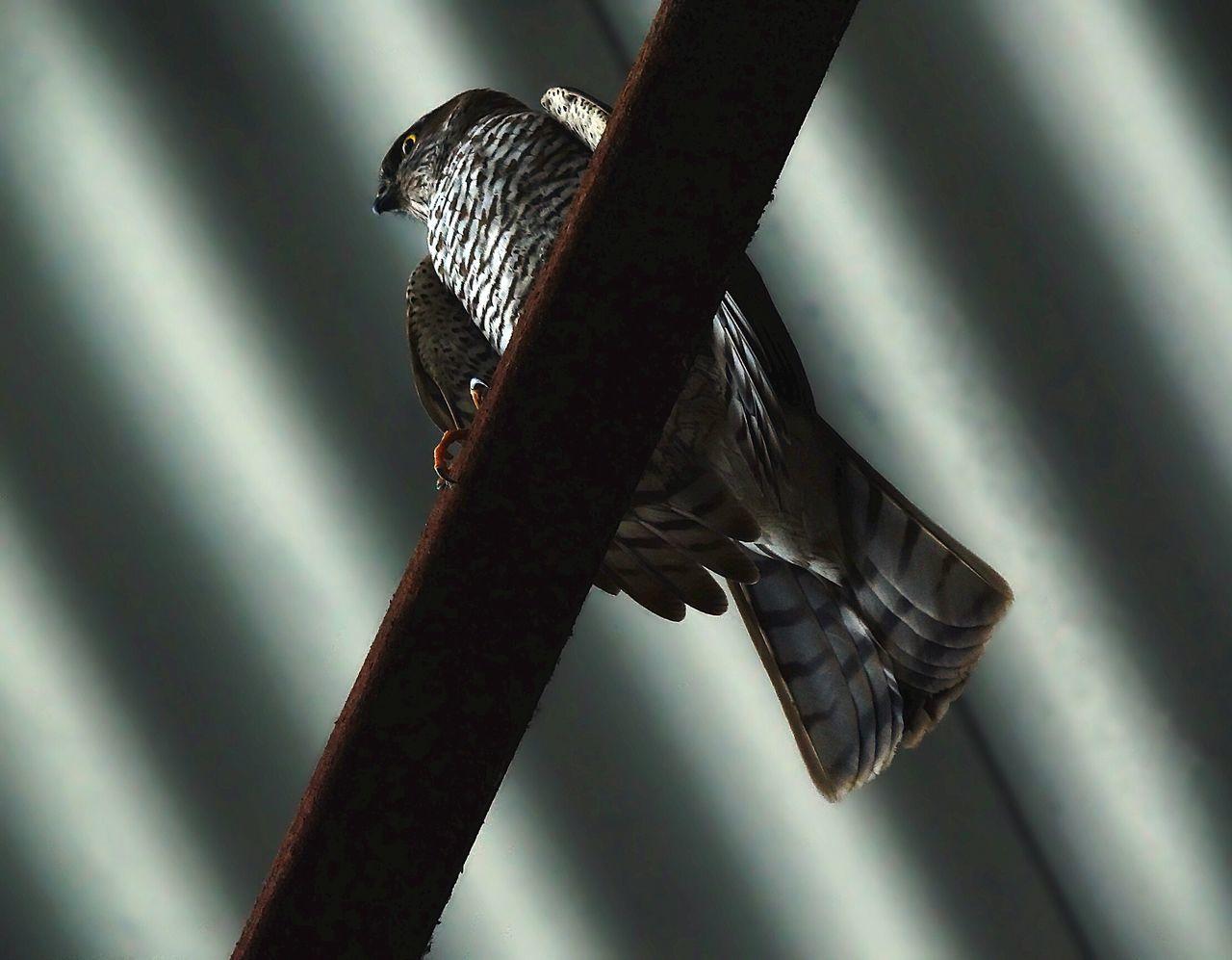 Beautiful stock photos of hawks, Animal Themes, Animals In The Wild, Bird, Day