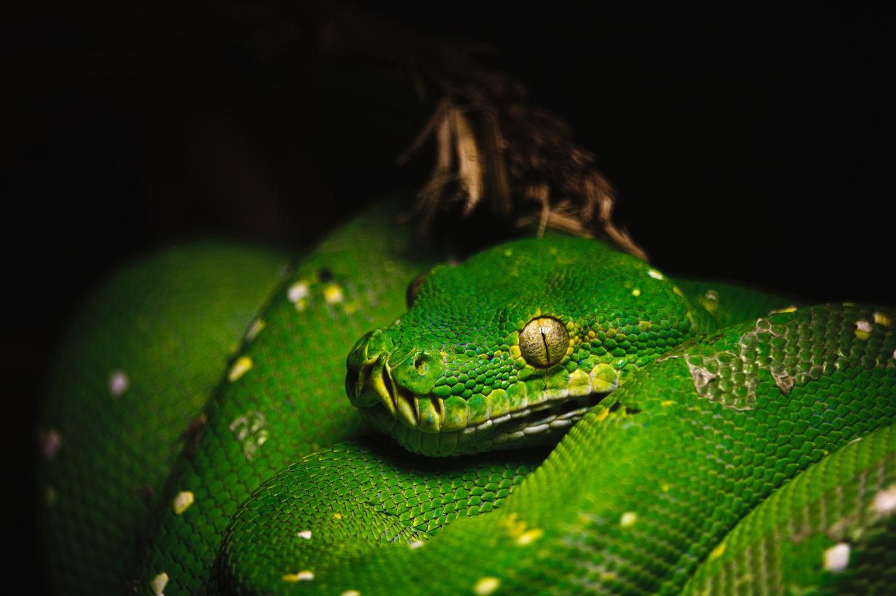 Animal Animal Themes Black Background Close-up Green Green Color No People One Animal Reptile Snake Snake Eyes Snake Skin Vignette Yellow Eyes Zoom