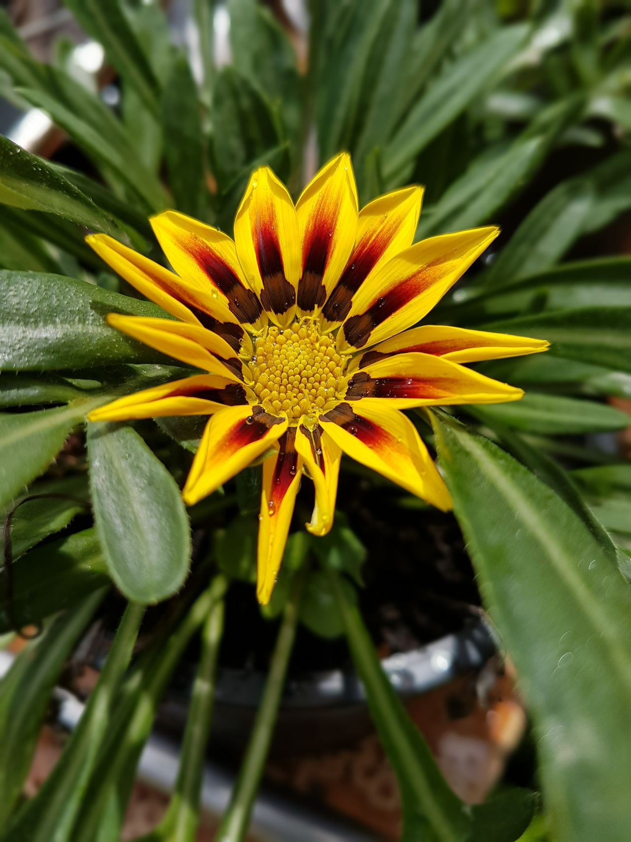 Flower Fragility Beauty In Nature Nature Growth Petal Freshness Flower Head Plant Yellow Outdoors Blooming No People Pollen Close-up Day Gazania Gazania Flower